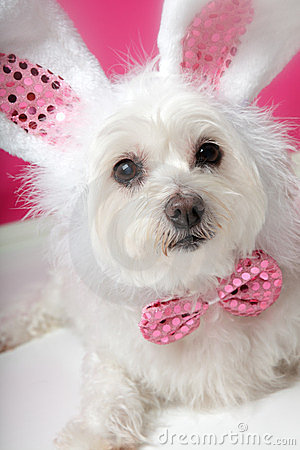 Free Pretty Fluffy White Dog In Fancy Bunny Costume Stock Photo - 24240340