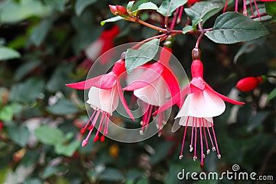 Pretty fuchsia flowers