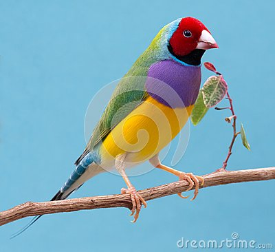 Free Pretty Gouldian Finch From Australia Stock Photography - 71138922