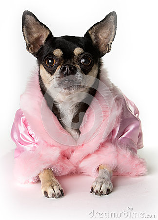 Free Pretty In Pink Chihuahua Stock Photography - 25061242