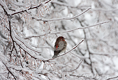 House finch on icy limb