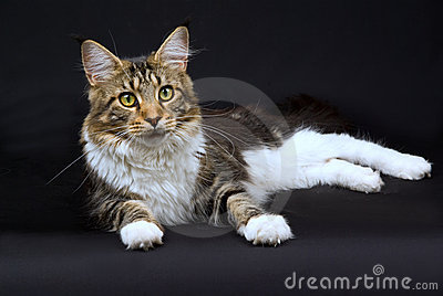 Pretty Maine Coon cat on black