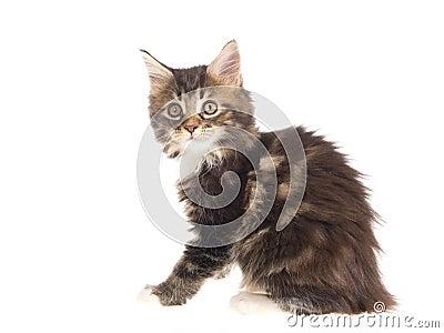 Pretty Maine Coon kitten on white background