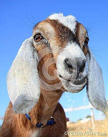 Pretty Nubian Goat