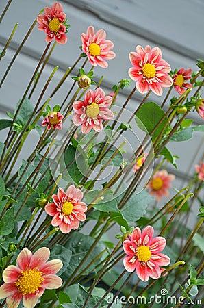 Pretty pink dahlia flowers