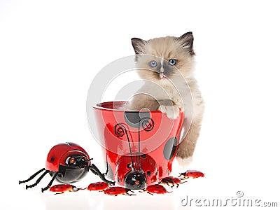 Pretty Ragdoll kitten in ladybug cup