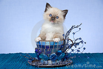 Pretty Ragdoll kitten in large blue cup