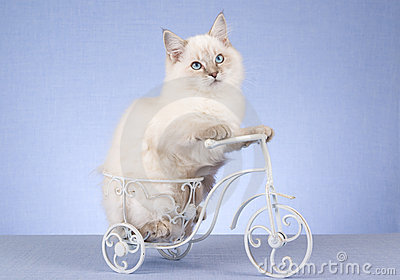 Pretty Ragdoll kitten on miniature bicycle