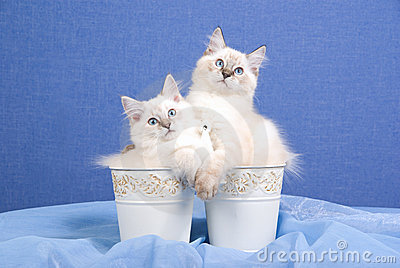 Pretty Ragdoll kittens inside buckets