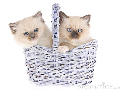 Pretty Ragdoll kittens in lilac basket