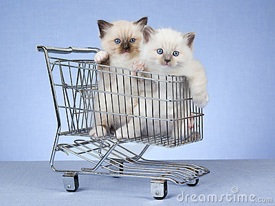 Pretty Ragdoll kittens in miniature cart
