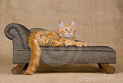 Pretty red Maine Coon kitten on sofa
