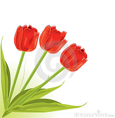 Pretty red tulips