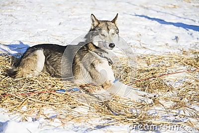 Pretty resting husky dog