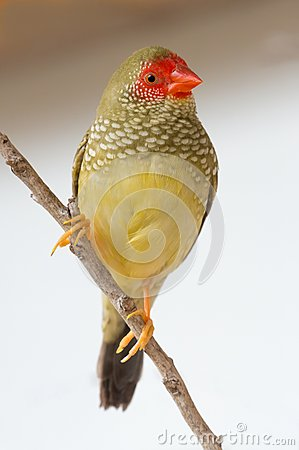 Free Pretty Star Finch From Australia Royalty Free Stock Images - 71136849