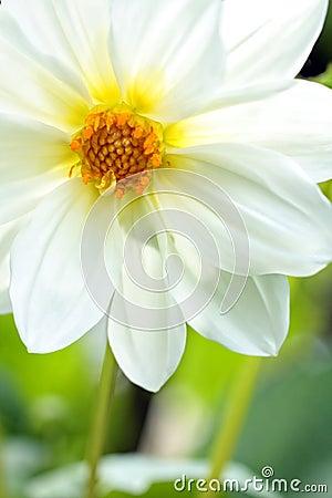 Pretty white dahlia