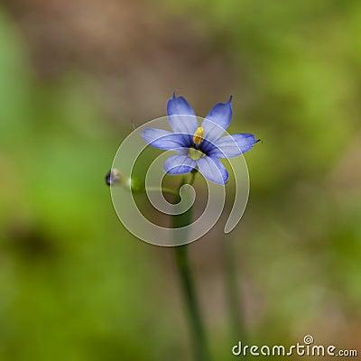 Pretty wildflower, Blue-eyed Grass