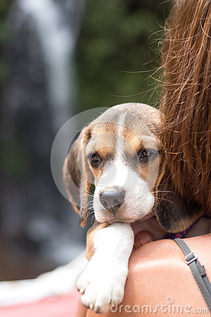 Free Pretty Woman Beautiful Young Happy With Small Dog Puppy Beagle. Tropical Island Bali, Indonesia. Lady With Beagle Royalty Free Stock Images - 89761359