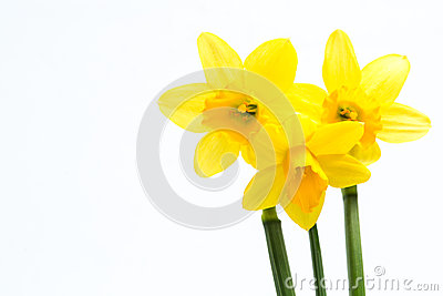 Pretty yellow daffodils with copy space