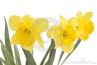 Pretty yellow daffodils on white background isolat