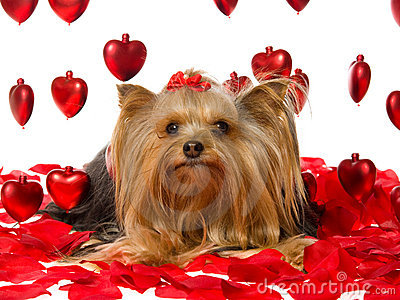 Pretty Yorkie pup with rose petals and hearts