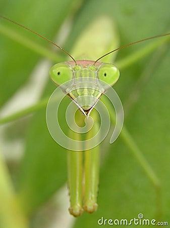 Free Preying Mantis Stock Photo - 35560