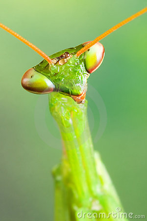 Free Preying Mantis Head Royalty Free Stock Images - 14380359