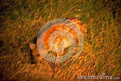 Prickig hyaena