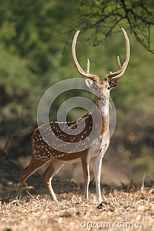 Prickiga hjortar