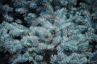 Prickly branches of blue spruce