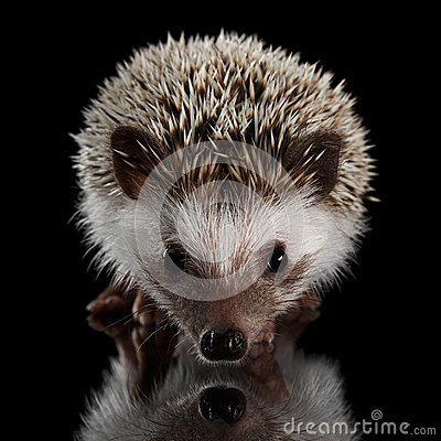 Free Prickly Hedgehog Isolated On Black Background Royalty Free Stock Image - 78532236