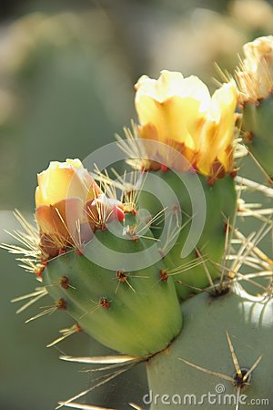 Free Prickly Pear Cactus Stock Images - 32847114