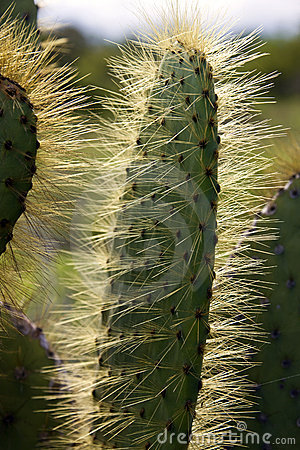 Prickly Pear Cactus - Galapagos Islands