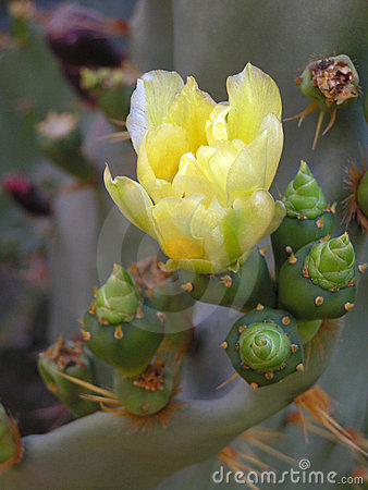Free Prickly Pear Cactus In Bloom Stock Photos - 1135823