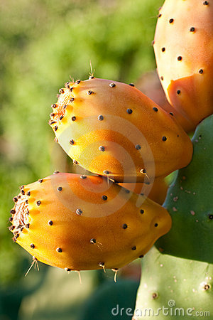 Free Prickly Pears Royalty Free Stock Photo - 11195585