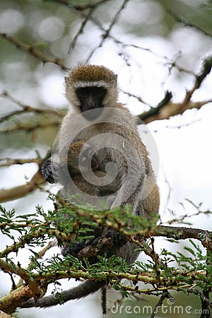 Free Primates Of Tanzania Stock Images - 35970294