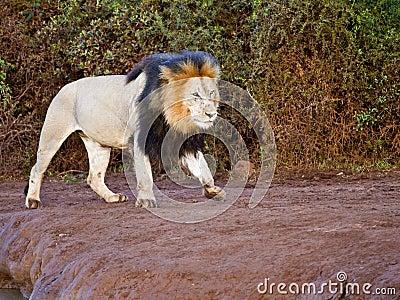 Prime Lion