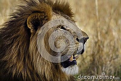 Prime male lion, Masai Mara, Kenya