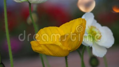 Primer de la flor amarilla y blanca que sopla en el viento almacen de metraje de vídeo