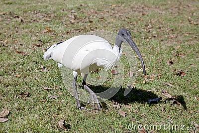 Primer de un Ibis blanco australiano