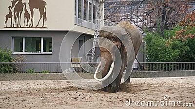primer 4k tirado de un elefante gris grande en el jardín zoológico de Berlín almacen de metraje de vídeo