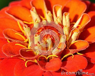 Primer rojo de la flor
