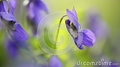 Primeras flores de perro violeta en primavera metrajes