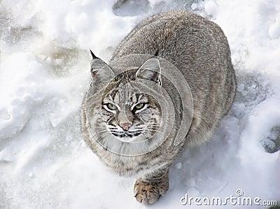Primo piano del lince del gatto selvatico che esamina macchina fotografica