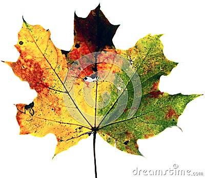 Primo piano della foglia di autunno dell 39 acero di colore for Foglia acero
