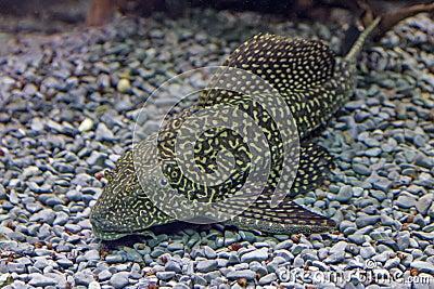 Primo piano di un pesce gatto tropicale del redtail for Pesce gatto acquario