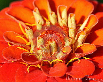 Primo piano rosso del fiore