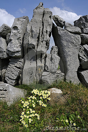 Primrose against Dry Limestone wall