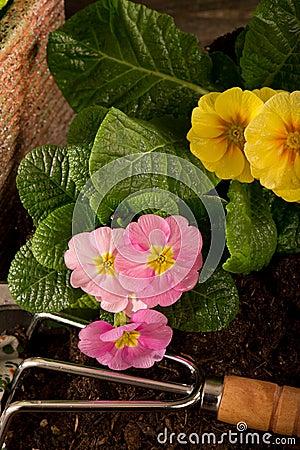 Free Primrose And Garden Utensil Stock Photos - 18266553