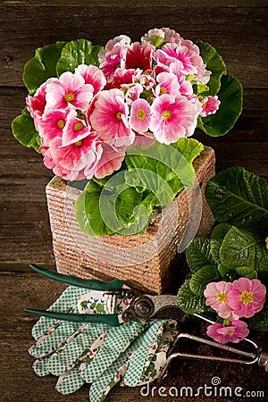 Free Primrose And Garden Utensil Royalty Free Stock Photos - 18266648